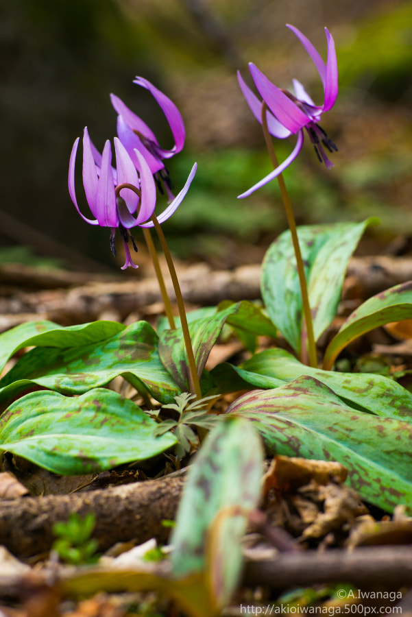 Japanese dog's tooth violet