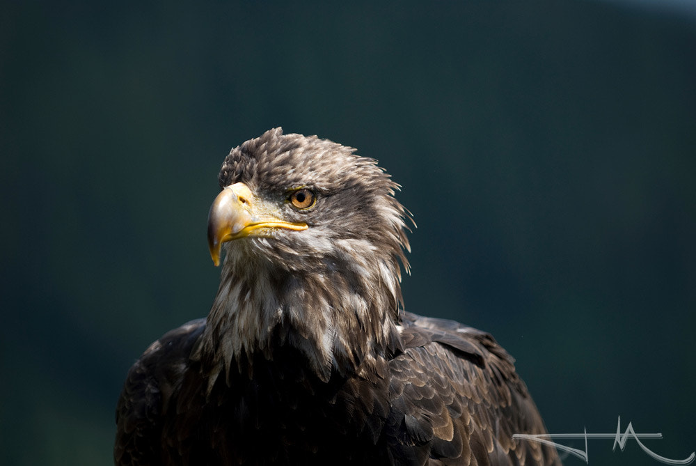 Photograph Bald Eagle by Jason McDonald on 500px