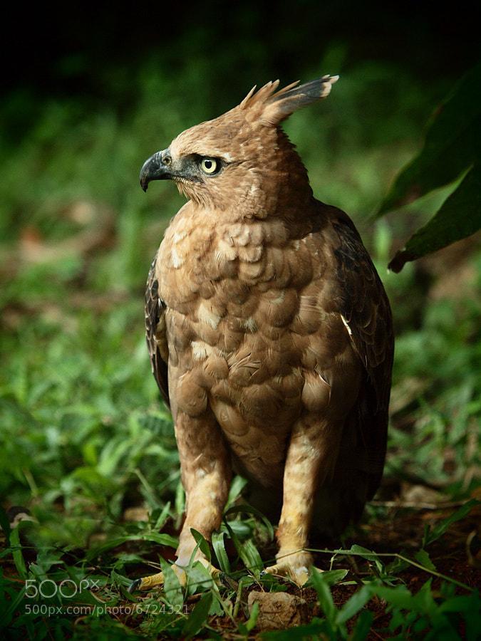 Falconiformes. Família  Acciptridae - Subfamília Buteonidade- Gaviões de penacho. genêro SPIZAETUS 4
