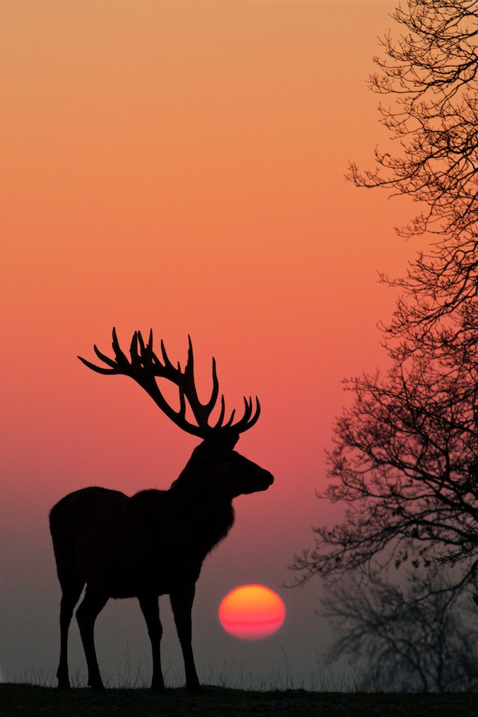 Photograph Red deer silhouette by Richard Bowler on 500px