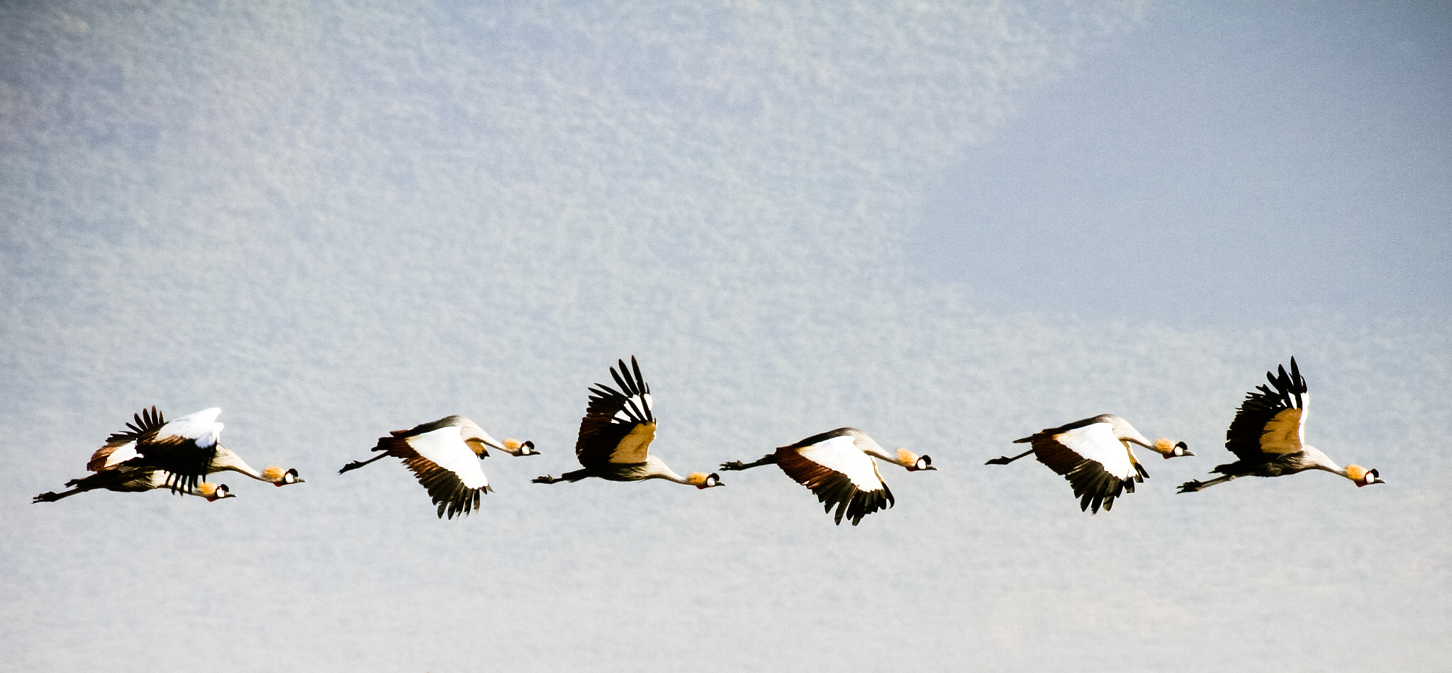 Photograph Crowned Cranes by Mitt Nathwani on 500px