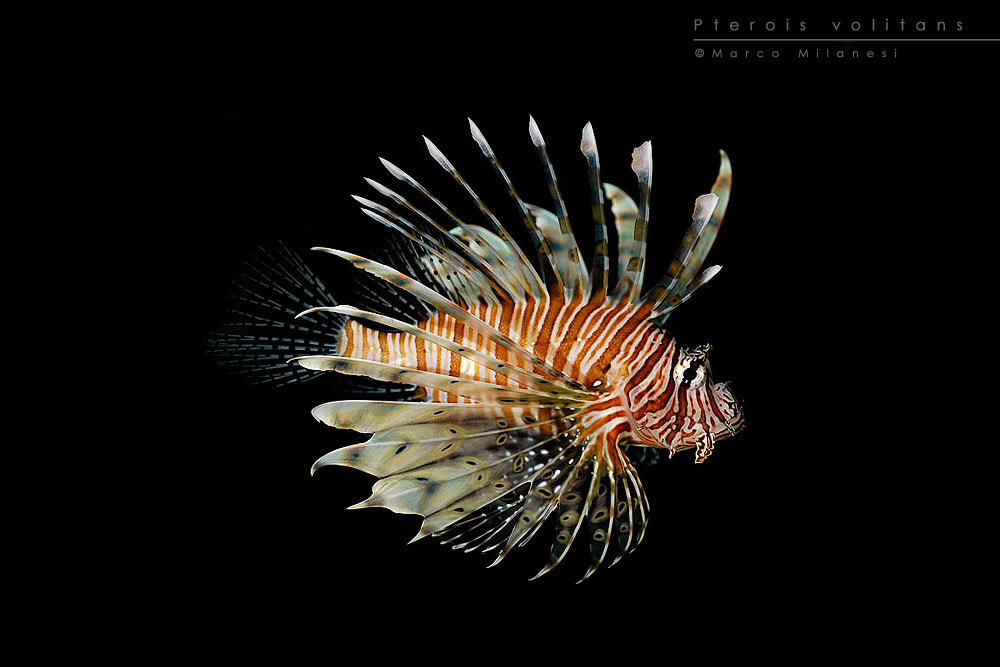 Photograph Pterois volitans by Marco Milanesi on 500px