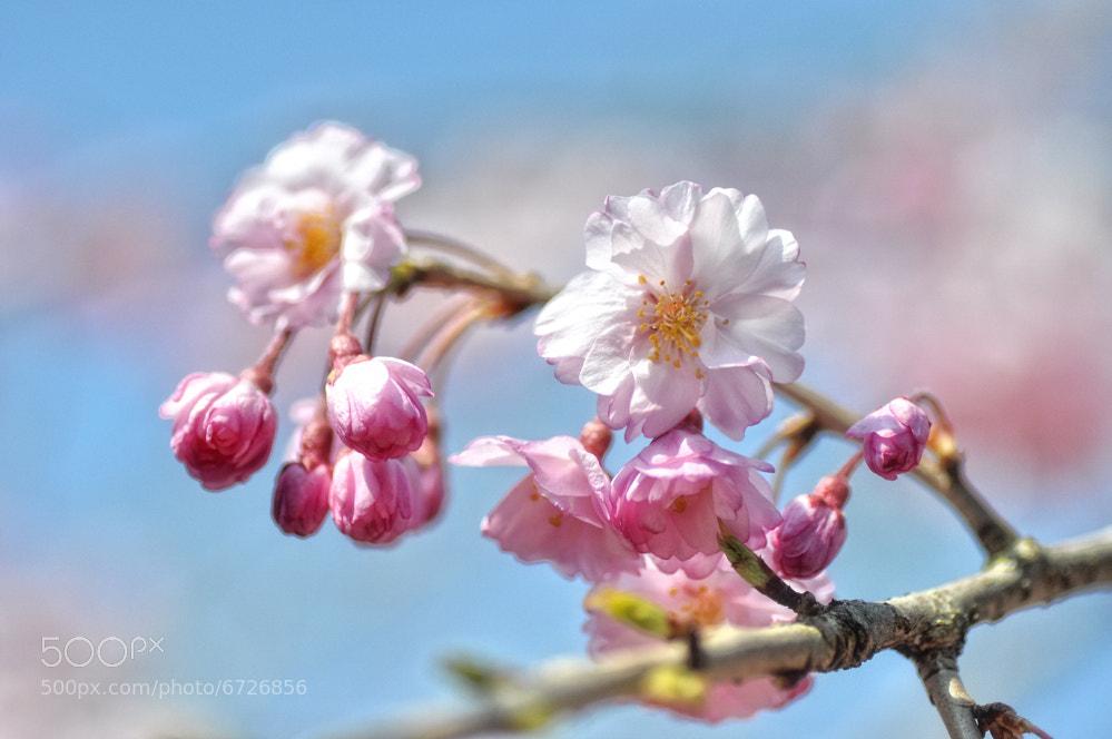 Photograph sakura by keiji 403 on 500px