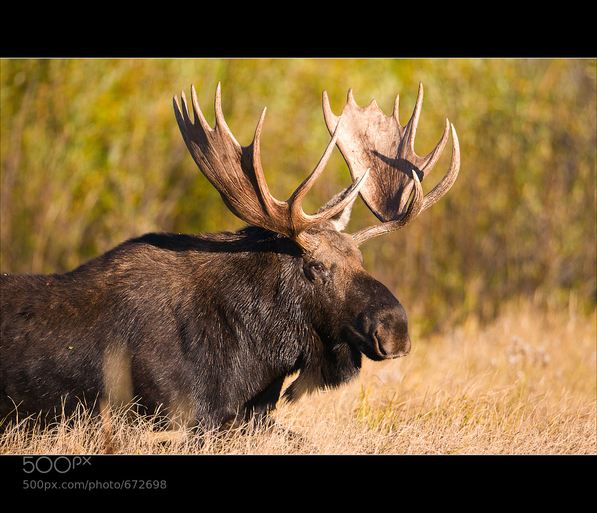 Photograph Bull Moose #1 by Wil Bloodworth on 500px