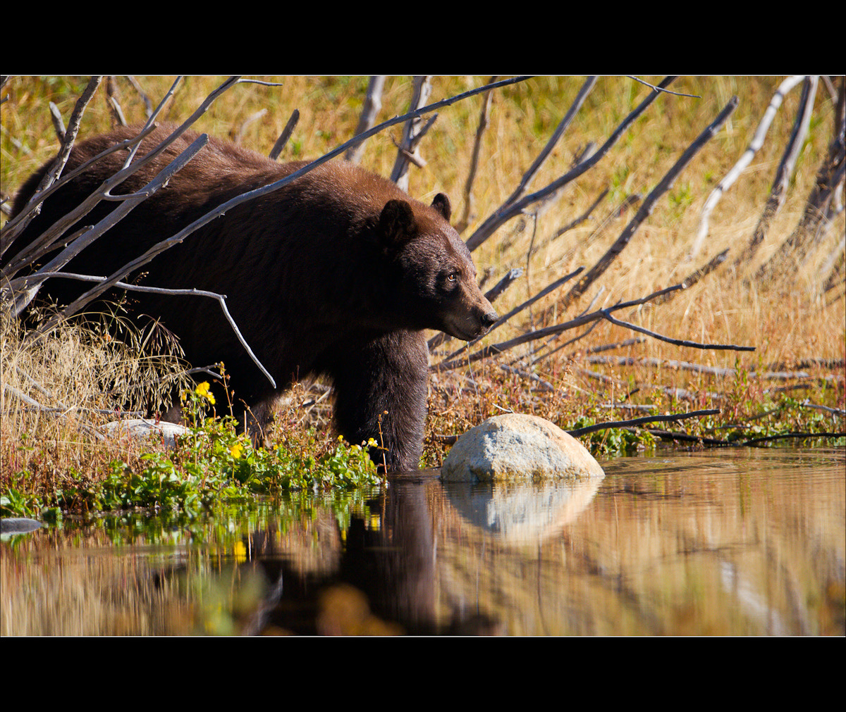 Photograph Cinnamon Bear #1 by Wil Bloodworth on 500px