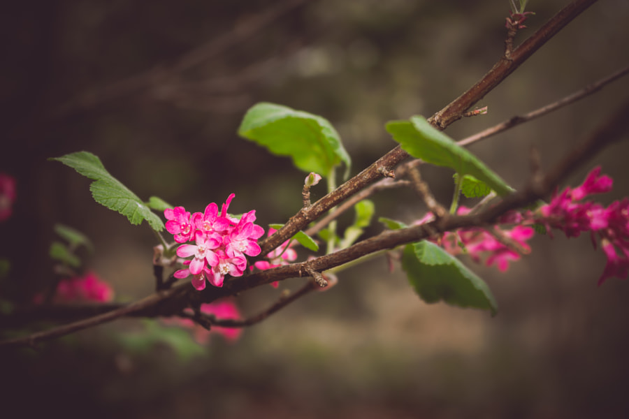 Pink Blossom by Ralf Hecktor on 500px.com