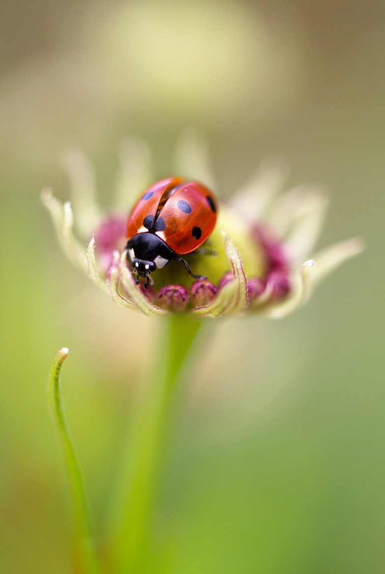 Photograph Ladybug by Mandy Disher on 500px