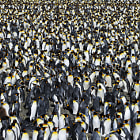 Постер, плакат: King Penguin Colony