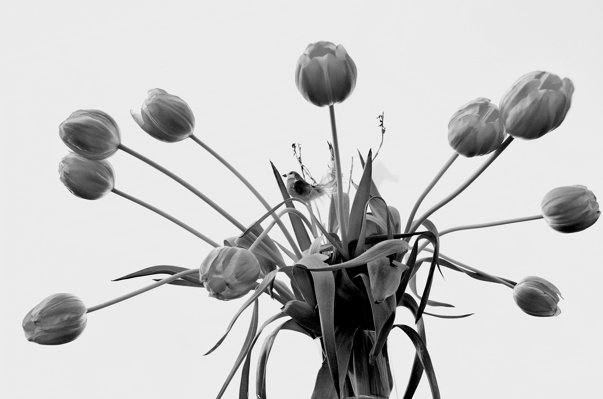 Photograph Tulips B&W by Hendryk Cantero on 500px