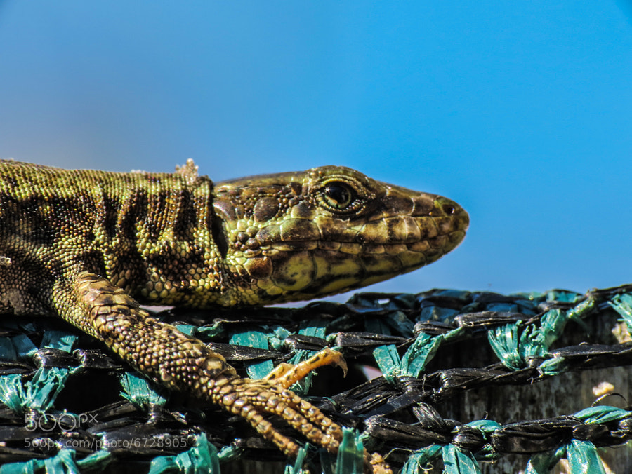 Photograph Wall Lizard by Luca Fiori on 500px