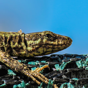 Wall Lizard by Luca Fiori (floxluca)) on 500px.com