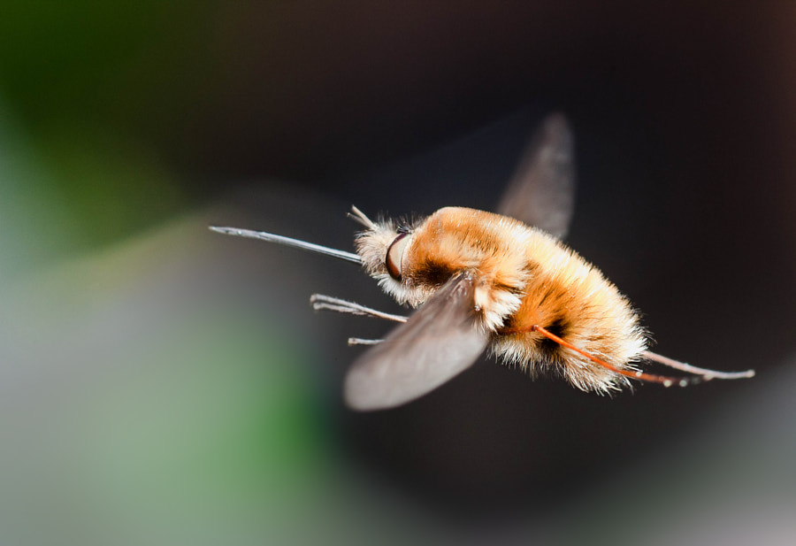 macro-photography - Beefly (Bombyliidae) in Flight by Robert K. Baggs on 500px.com