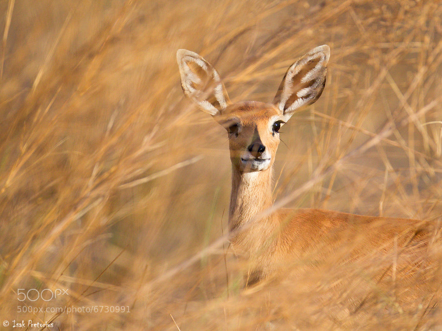 Photograph Steenbok by Isak Pretorius on 500px