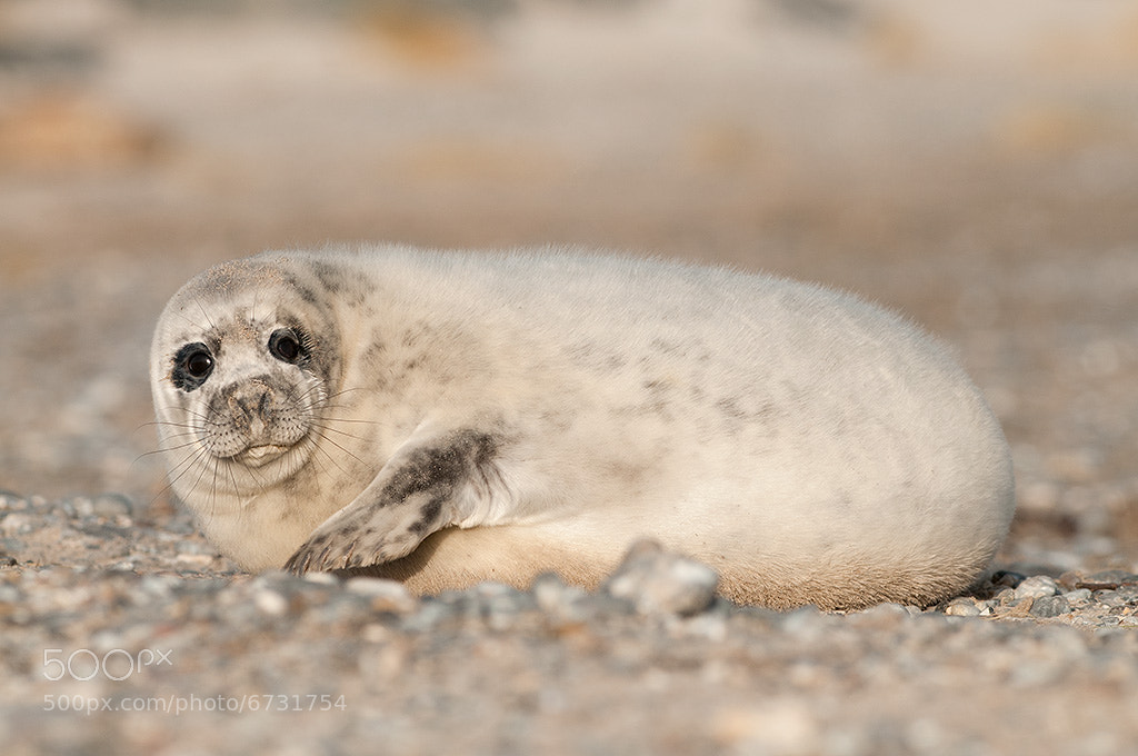 Photograph Seal pup by Florian Bestel on 500px