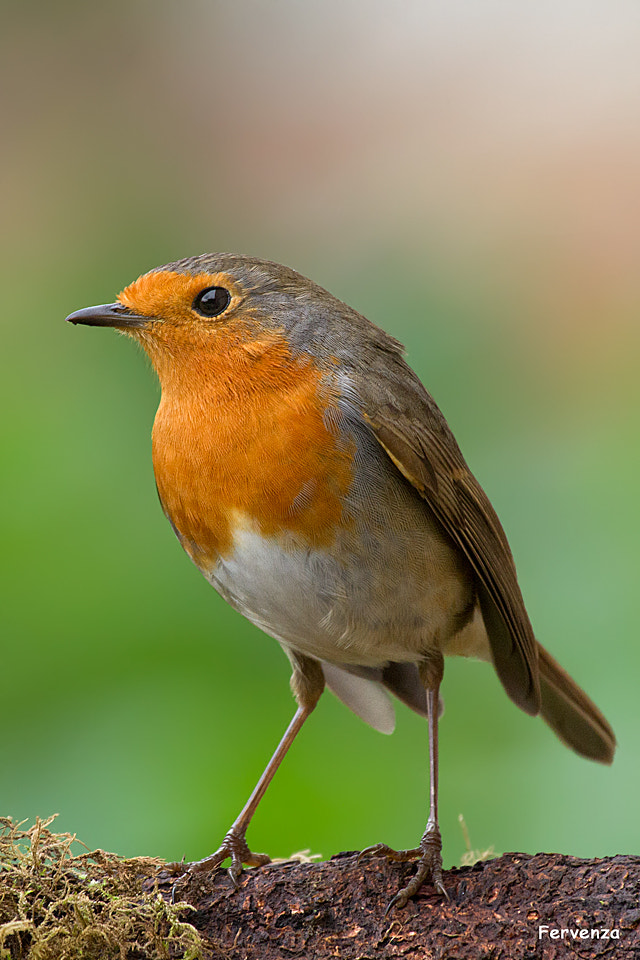 Photograph Robin by Mary Sanmartin on 500px