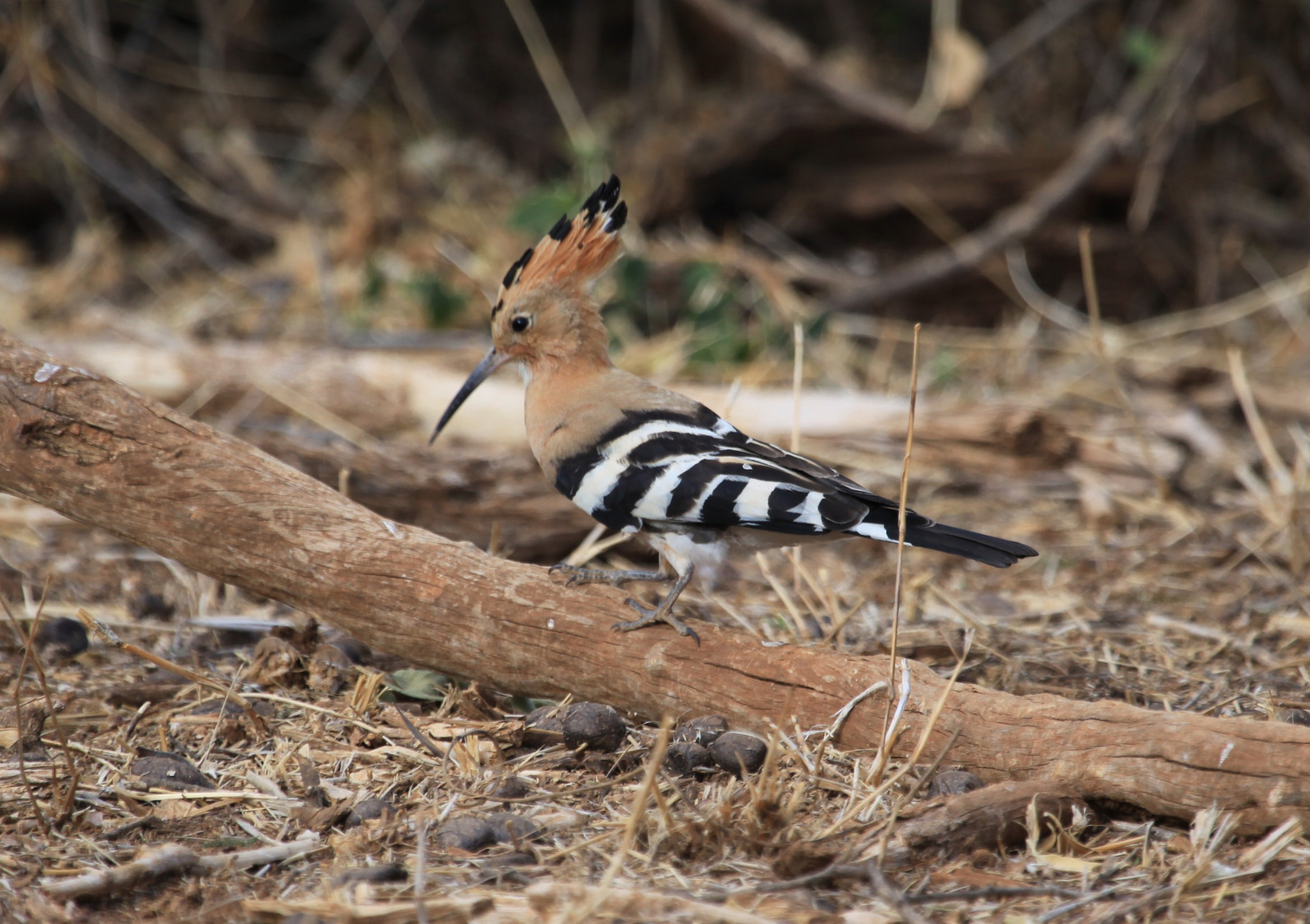 Photograph Hoopoe hop by Clare Forster on 500px