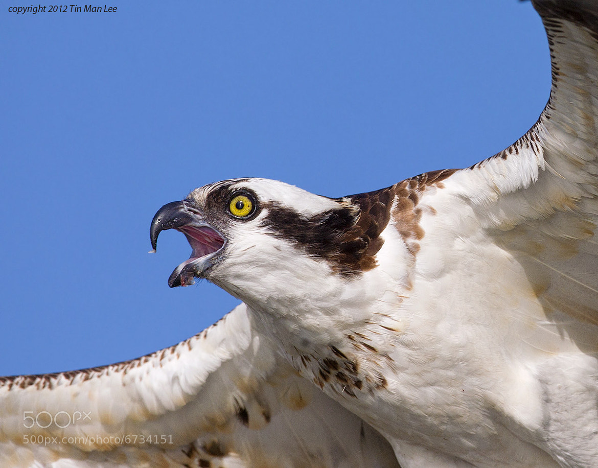 Photograph Osprey Flying and Calling by Tin Man on 500px