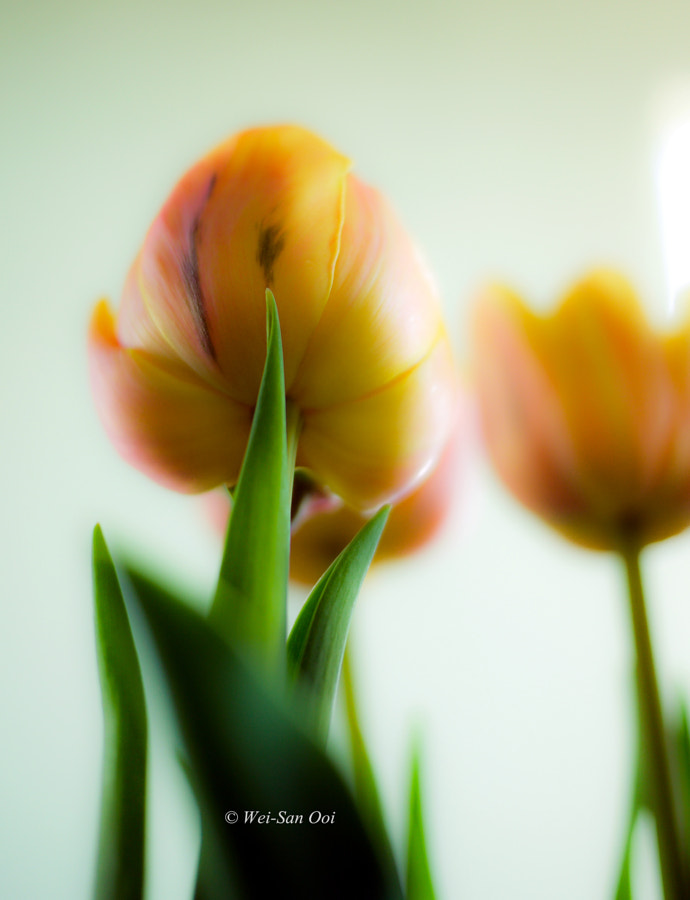 Photograph Tulips 15 by Wei-San Ooi  on 500px