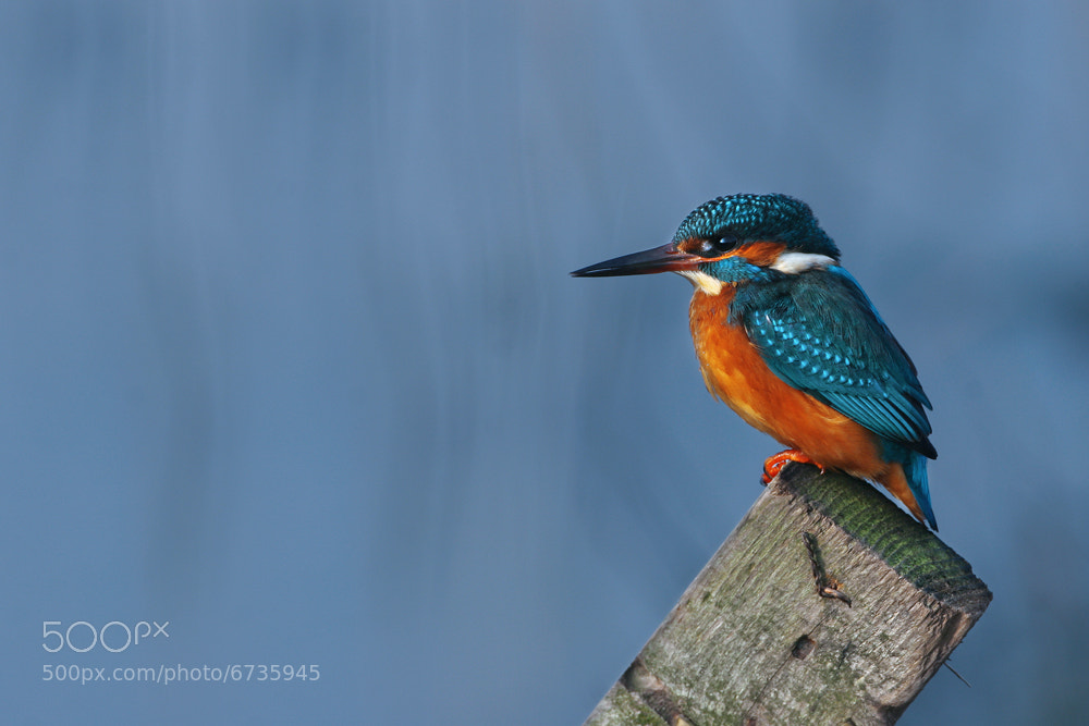 Photograph Kingfisher by Nigel  Pye on 500px