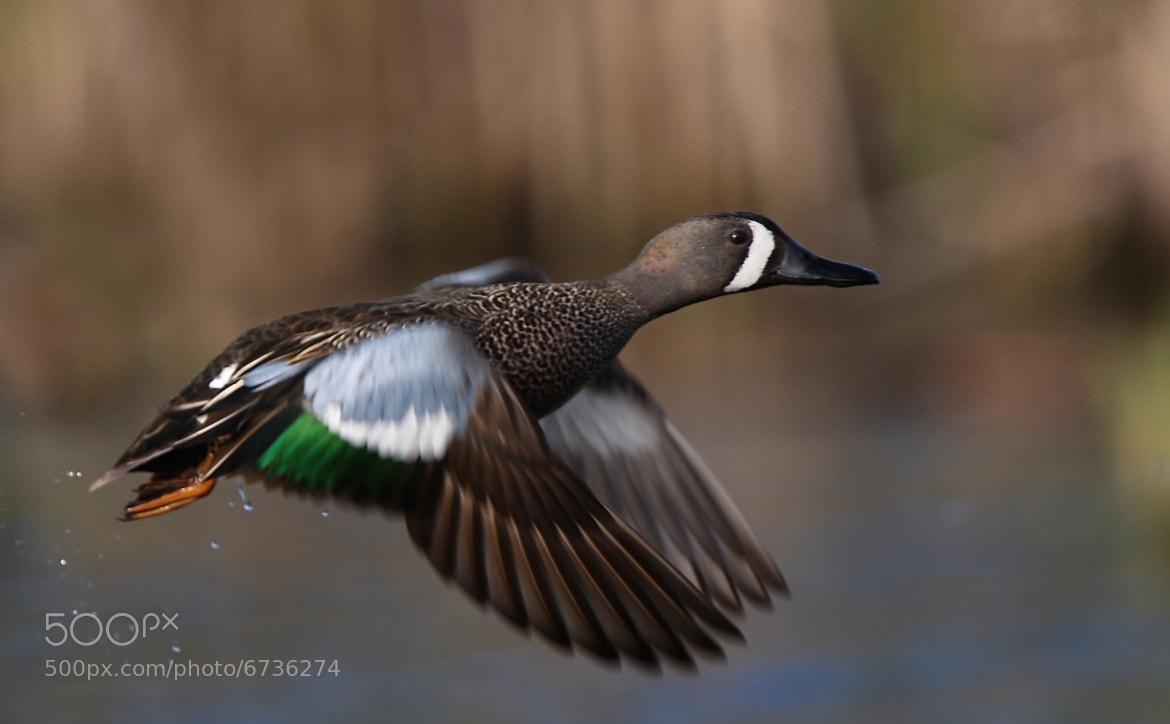 Photograph Blue-winged Teal by Jim Cumming on 500px