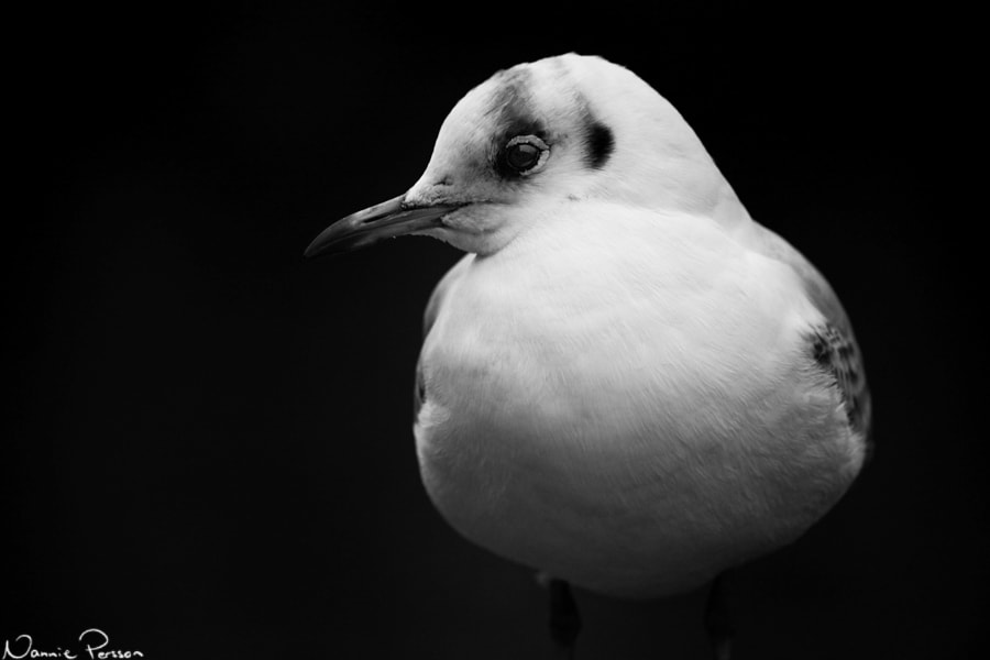 Photograph Black-headed gull by Nannie Persson on 500px