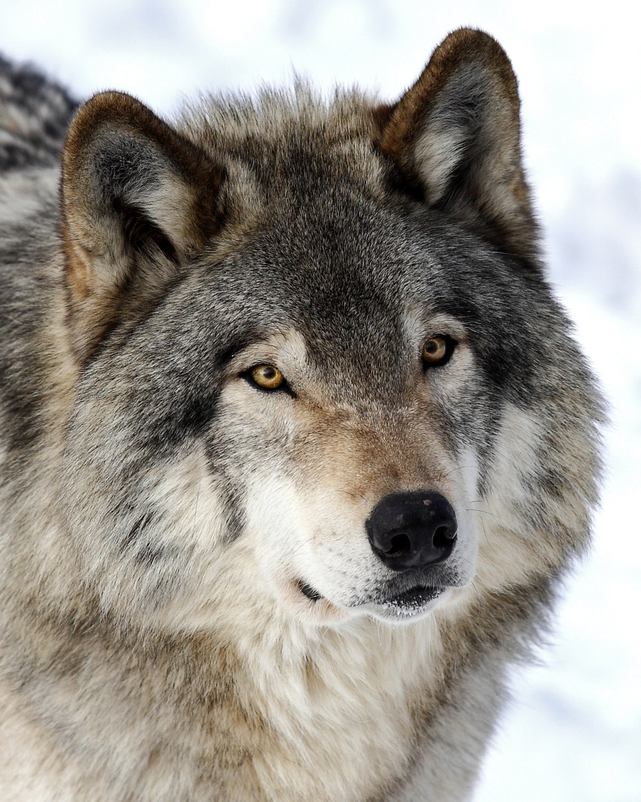 Photograph Timber Wolf by Jim Cumming on 500px