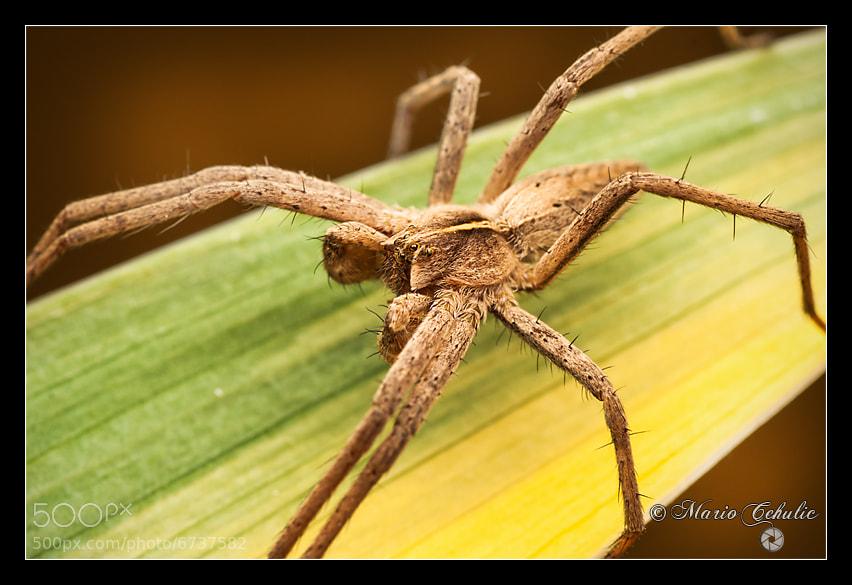 Photograph Pisaura Mirabilis spider by Mario Čehulić on 500px