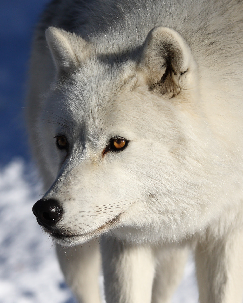 Photograph Arctic Wolf by Jim Cumming on 500px