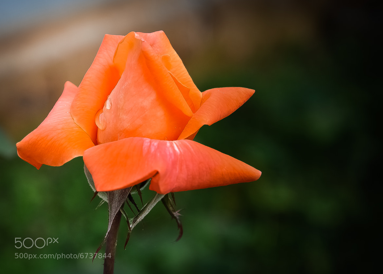 Photograph Rose...! by Subbu Sullia's Frozen Moments on 500px