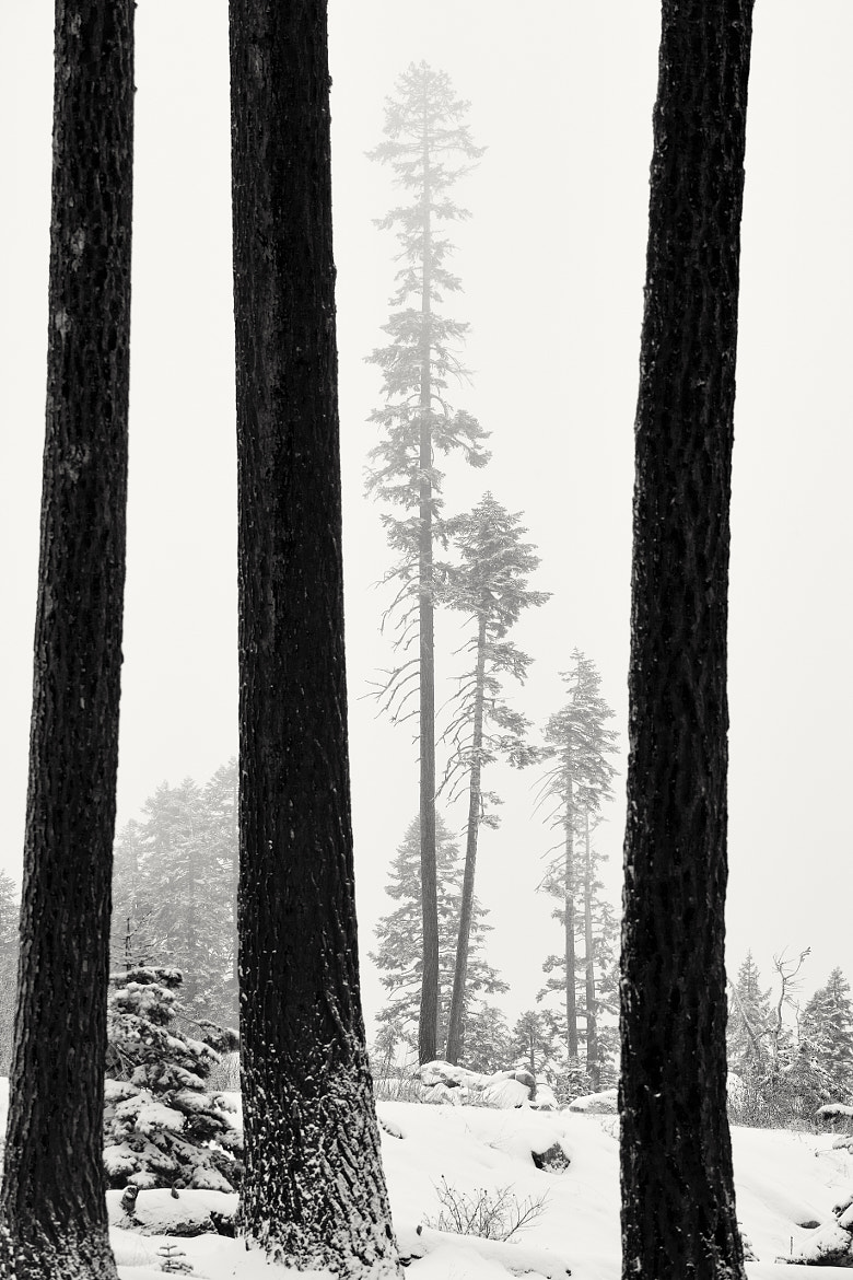 Photograph The Long and Slender Pine Trees of Sierra by Tim Peare on 500px