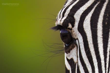 The Eye of a Zebra by Heather Balmain on 500px