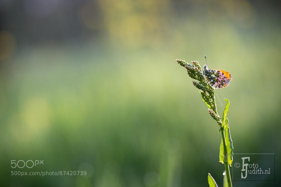 Photograph Orangetip by Judith Borremans on 500px