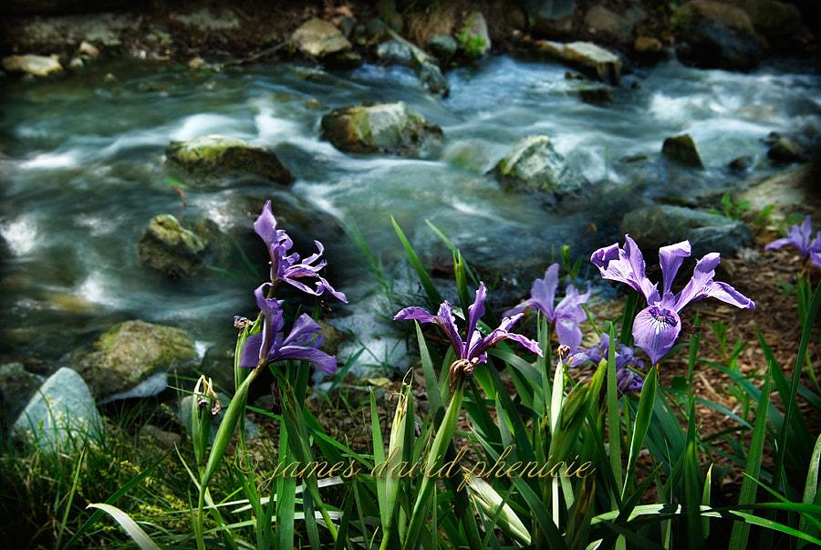 Purple Iris and a Creek