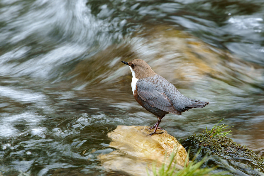Photograph Dipper by Janez Tolar on 500px