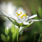 Постер, плакат: Greater stitchwort