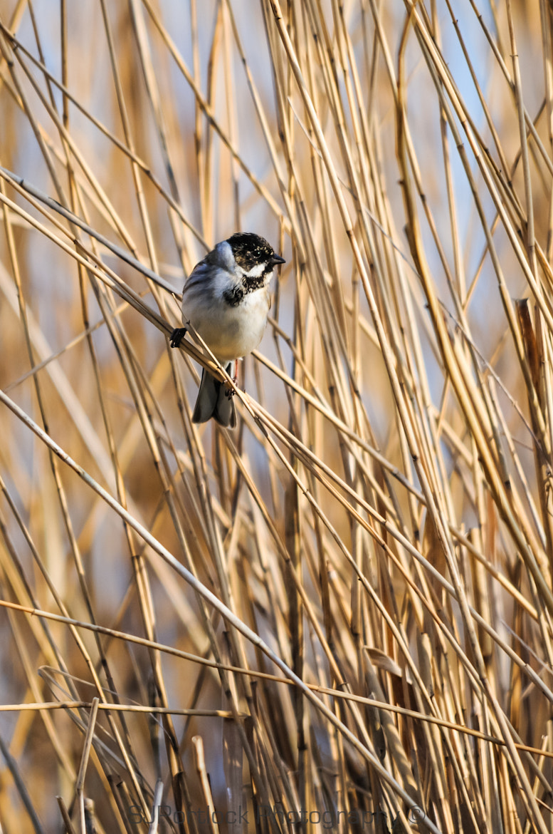 Photograph Reed Bunting  by Stephen Portlock on 500px