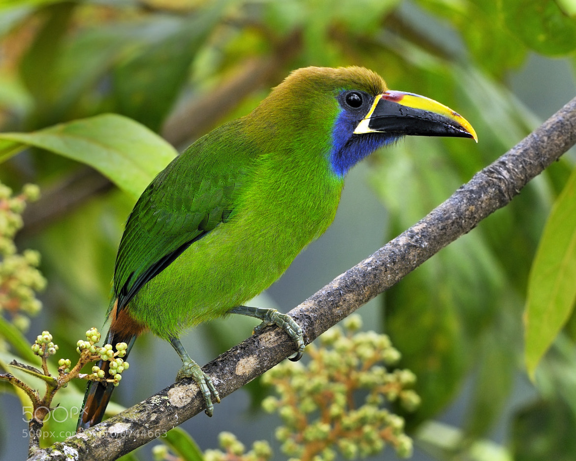 Photograph Emerald Toucanet by Tony Beck on 500px