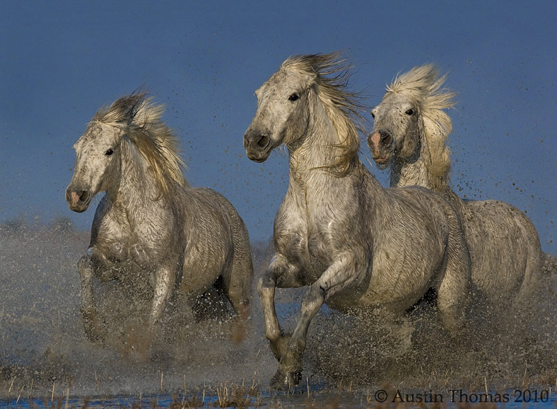 Photograph Galloping Horses by Austin Thomas on 500px