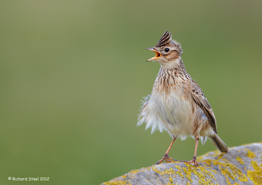 Photograph Angry Lark by Richard Steel on 500px