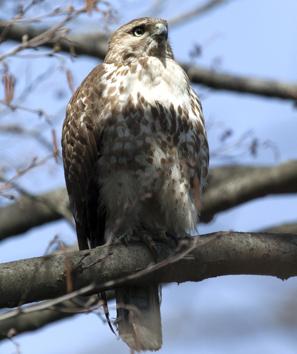 Photograph coopers hawk by William  Donnelly on 500px