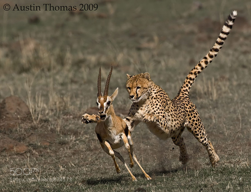 Photograph Cheetah Attack by Austin Thomas on 500px