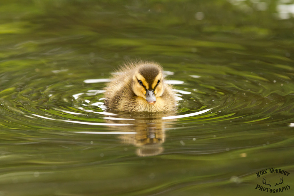 Photograph Duckling by Kirk Norbury on 500px