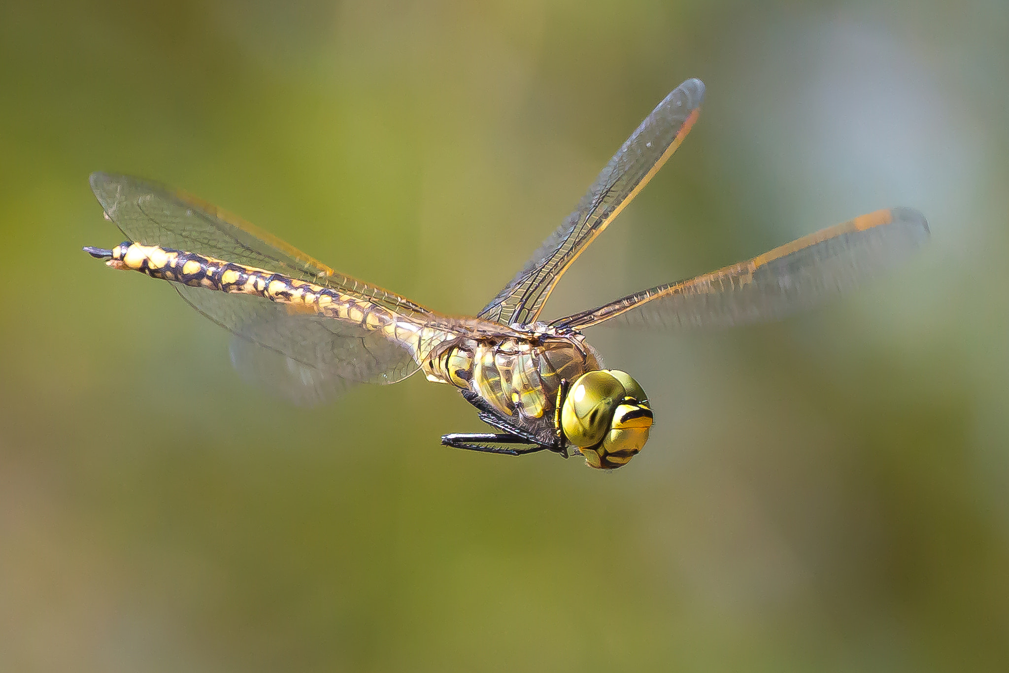 Photograph Dragonfly in Flight by Andrew Tingle on 500px
