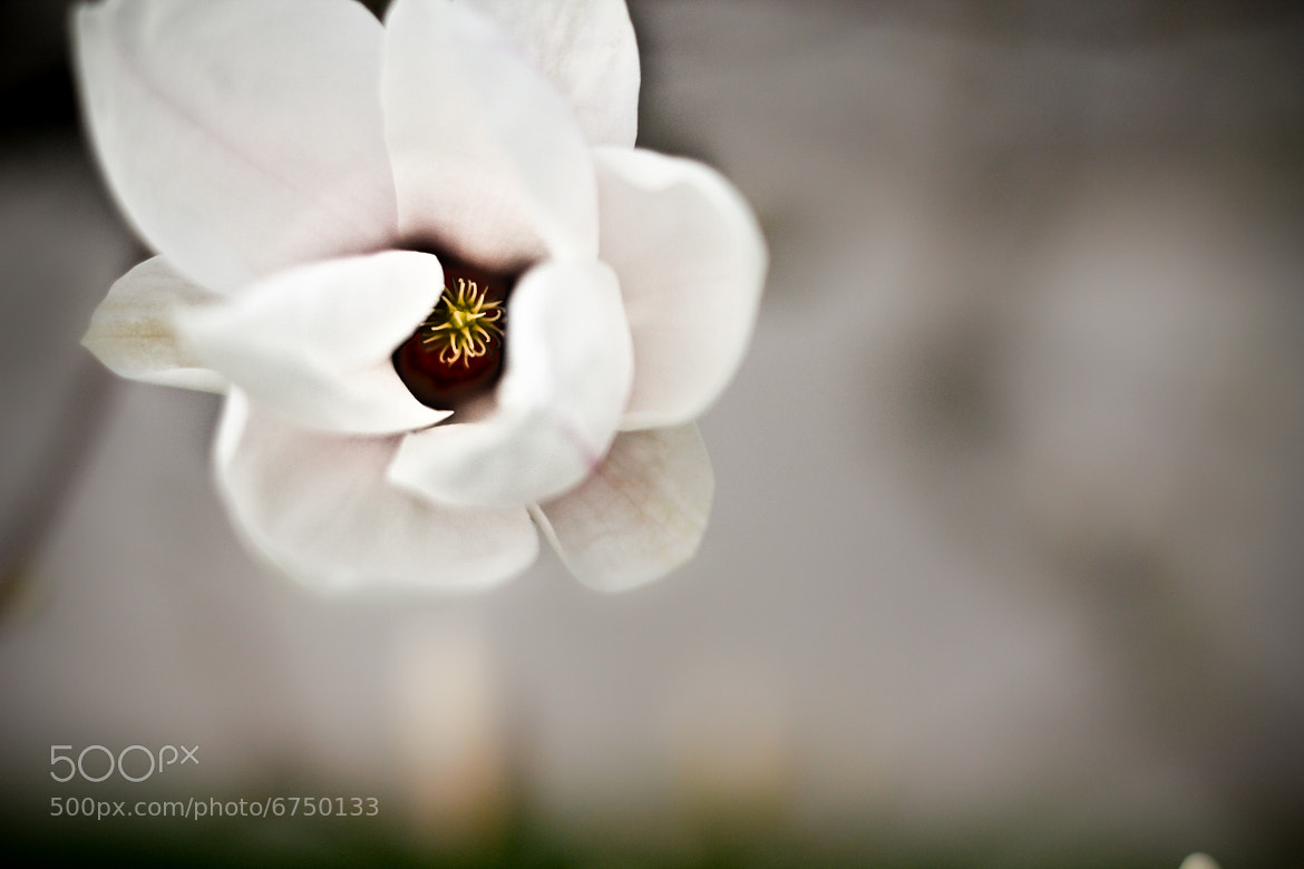 Photograph Magnolia. by Danika Lee on 500px