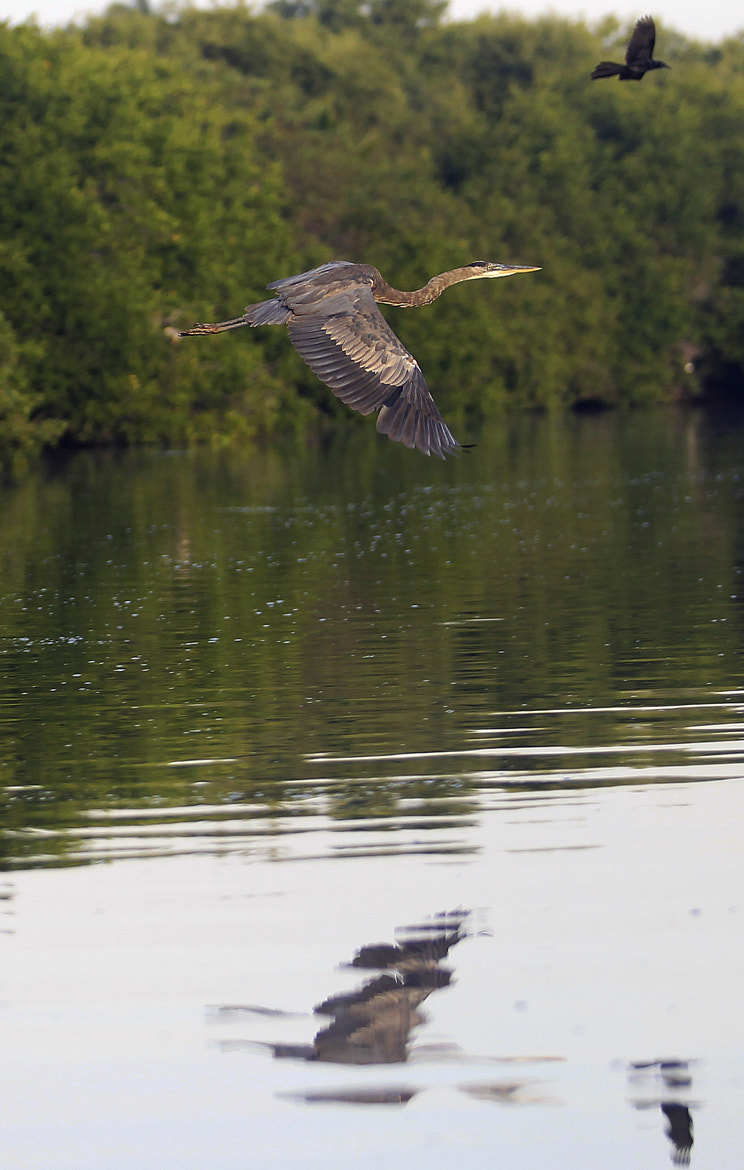 Photograph Blue heron in flight by Cristobal Garciaferro Rubio on 500px