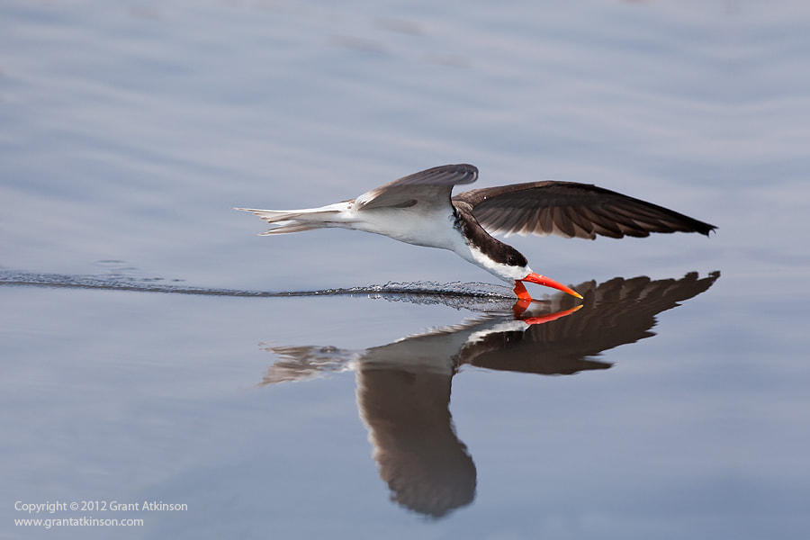 Photograph Reflection Of A Skimmer! by Grant Atkinson on 500px