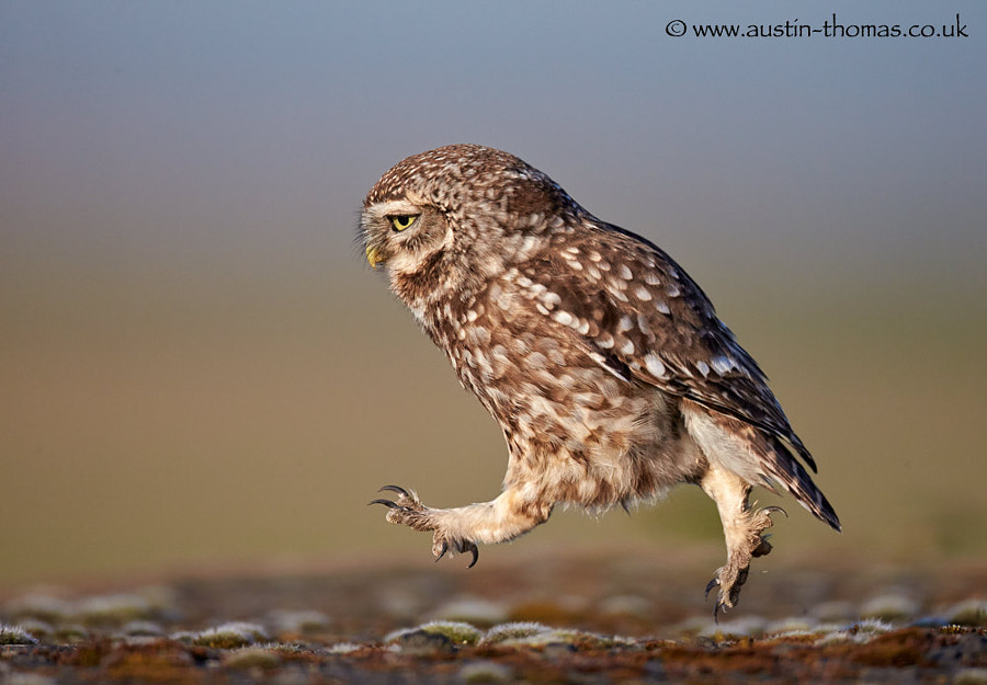 A busy Little Owl...