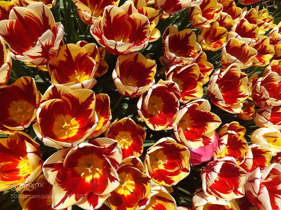 Tulip candels