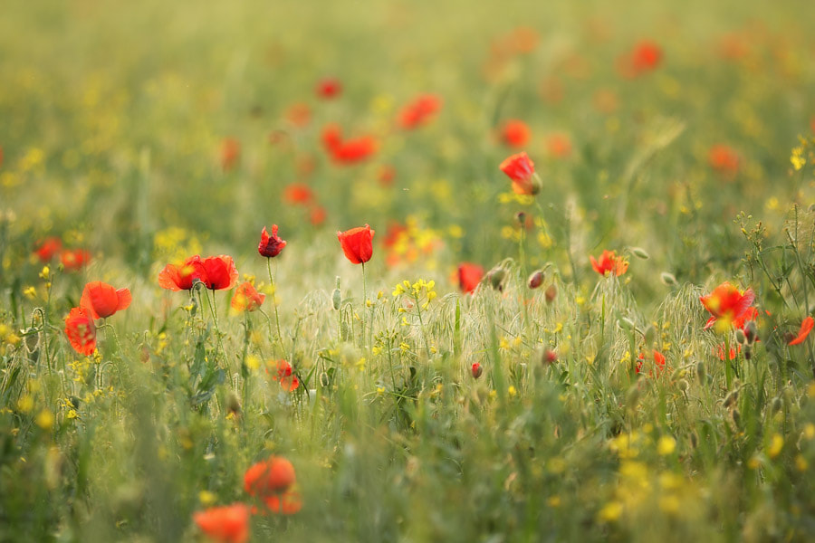 Photograph Poppy Field by Manfred Huszar on 500px