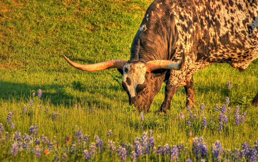 Photograph Texas Bluebonnets and Texas Longhorns by Ronnie Wiggin on 500px